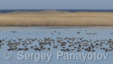 Video of White-fronted Goose - Greater White-fronted Goose in the bulgarian winter fly near to Shabla and Durankulak lake