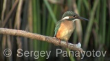 Video of Common Kingfisher