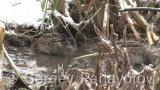 Video of Eurasian Teal
