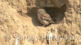 Video of Little Owl