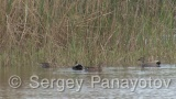 Video of Gadwall - Gadwall in the lake early spring