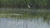Video of White-winged Tern - Flying White-winged Tern in the lake