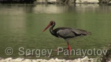 Video of Black Stork