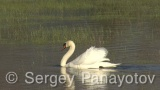 Video of Mute Swan - Mute Swan in the nest period in Shabla lake