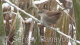 Video of Cetti's Warbler