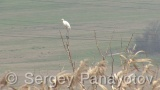 Video of Great Egret