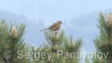 Video of Rock Bunting