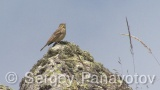 Video of Ortolan Bunting