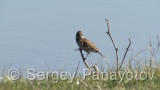 Video of Reed Bunting