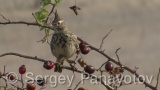 Video of Crested Lark