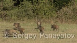Video of Wild boar