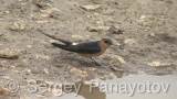 Video of Red-rumped Swallow