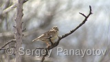 Video of Wood Lark