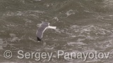 Video of Mew Gull - Mew Gull flying over the waves of the troubled sea winter.