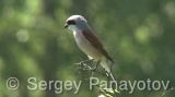 Video of Red-backed Shrike