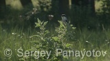 Video of Lesser Grey Shrike