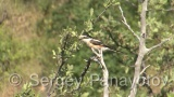 Video of Masked Shrike