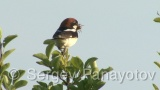 Video of Woodchat Shrike