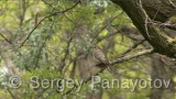 Video of Spotted Flycatcher