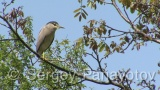 Video of Black-crowned Night-heron