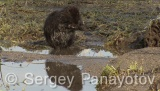 Video of Nutria