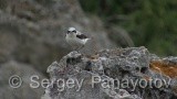 Video of Northern Wheatear