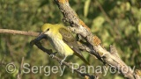 Video of Golden oriole