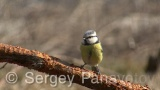 Video of Blue Tit