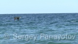 Video of Great Cormorant - Great Cormorant in the water of lake