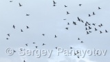 Video of Great Cormorant - Great Cormorant colony in spring, near to the Durankulak lake
