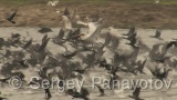 Video of Great Cormorant - Flying Great Cormorant on the lake