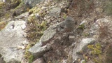 Video of Alpine Accentor - Alpine Accentor finding insects in the top of the mountain.