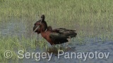 Video of Glossy Ibis