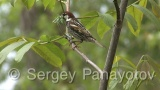 Video of Spanish Sparrow - Spanish Sparrow build nest in the spring