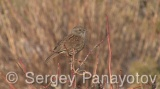 Video of Hedge Accentor