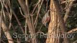 Video of Wood Nuthatch