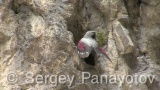 Video of Wallcreeper