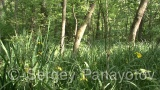Video of Yellow Iris - Yellow Iris in the forest near to the lake
