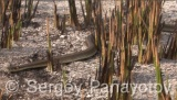 Video of Grass Snake - Grass Snake on the sea sand near to the lake.