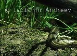 Video of Grass Snake - A Grass Snake just leaving its roost.