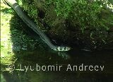 Video of Grass Snake - Grass Snake in the water.