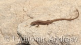 Video of Common wall lizard - common wall lizard on the rock in the summer